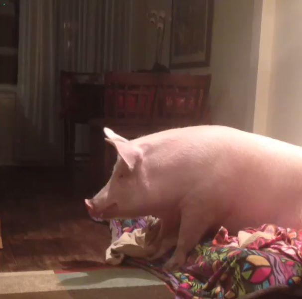 This Is What It's Like To Have A Pig For A Pet (40 pics)