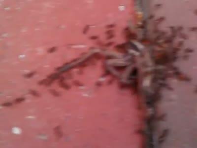 Ants Using Teamwork