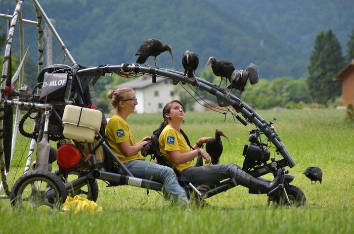 The Waldrapp Team Brings An Extinct Bird Back To Life (4 pics)