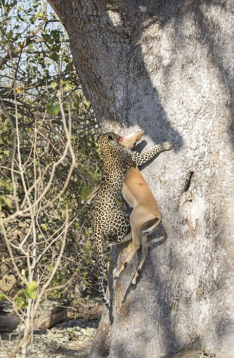 This Leopard Is An Excellent Hunter (10 pics)