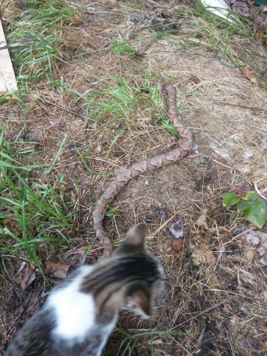 Cat Kills Large Snake (4 pics)
