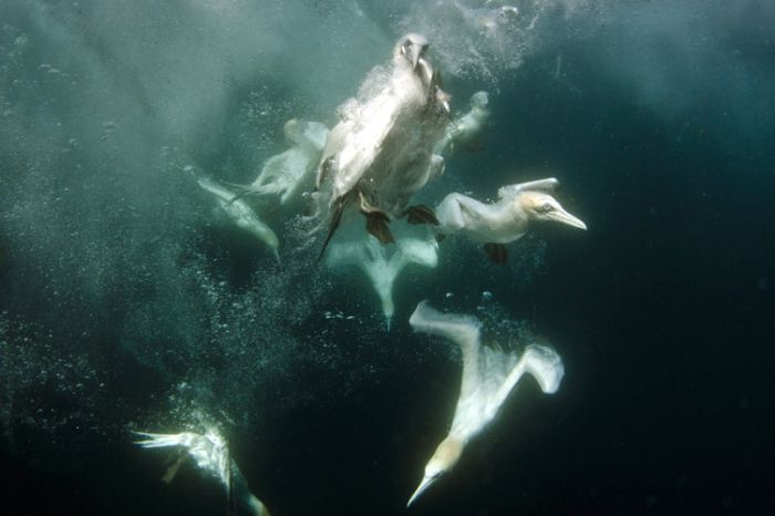 Gannets Diving For Fish In The Shetland Isles (15 pics)