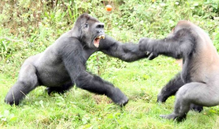 Gorillas Have A Tomato Fight (6 pics)