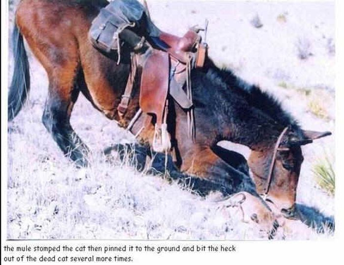 Oldie of the Day. A Mule Absolutely Destroys A Puma (4 pics)