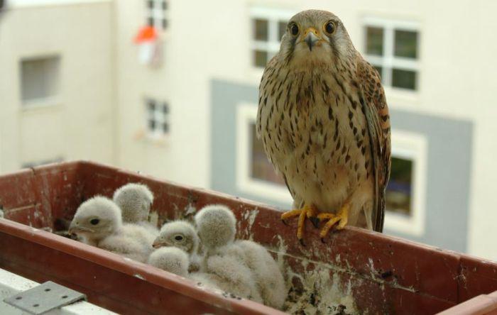 A Falcon Outside The Window (6 pics)