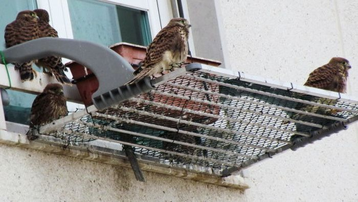 A Falcon Outside The Window (6 pics)
