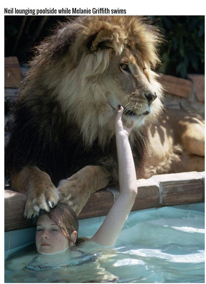This Family Has A Lion As A House Pet (13 pics)