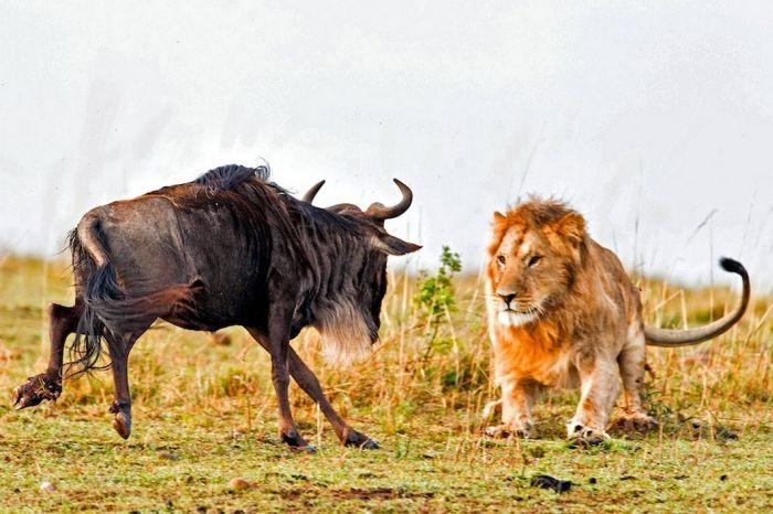 Lion Hunts A Wildebeast (8 pics)