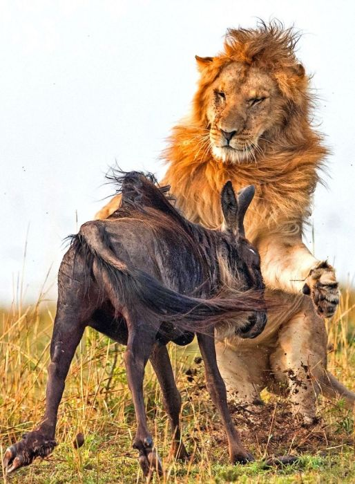 Lion Hunts A Wildebeast (8 pics)