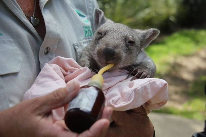 Orphaned Wombat Finds A New Home (6 pics)
