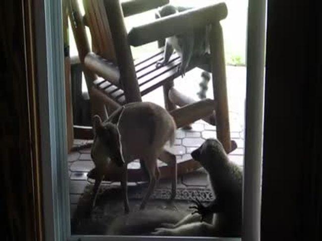 Jealous Lemur
