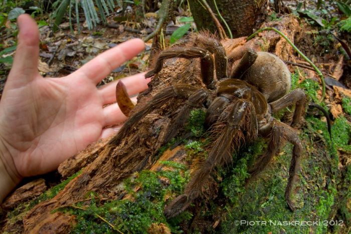 This Spider Is The Size Of A Puppy (4 pics)