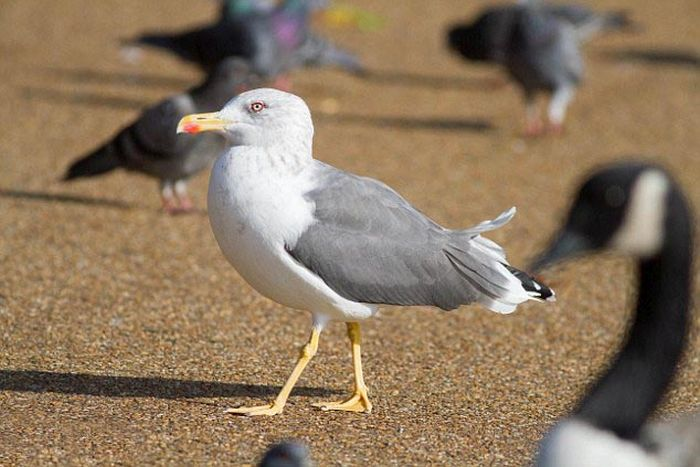 Seagulls Kill Pigeons For Lunch (7 pics)