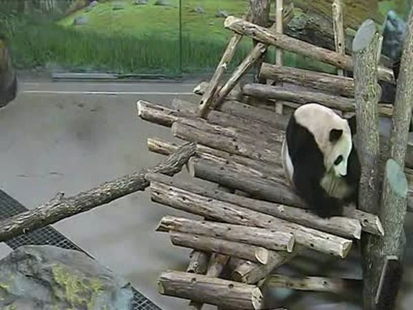 Giant Panda Surprised by Squirrel