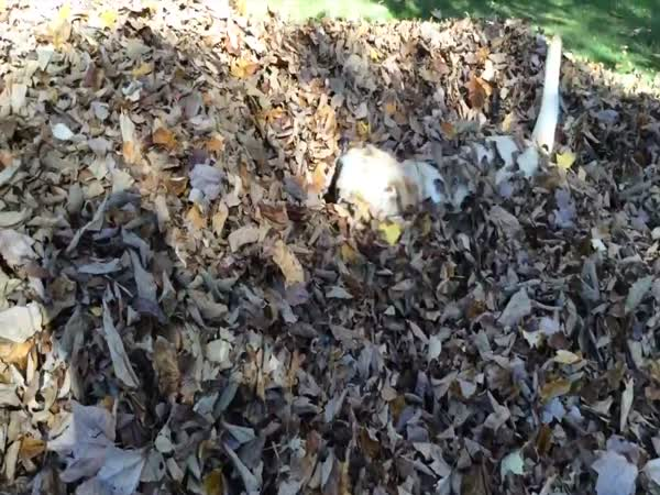 Dog Plays in Leaf Pile