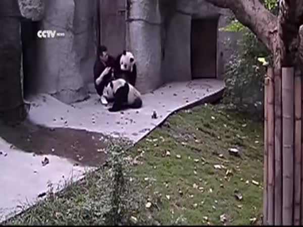 Pandas Don't Want to Take Their Medicine