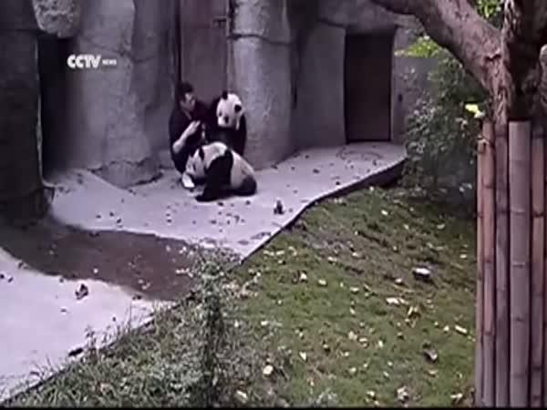Pandas Don't Want to Take Their Medicine