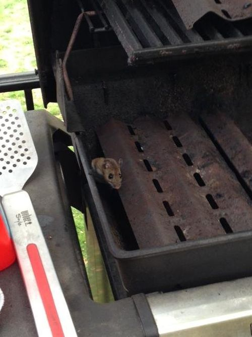 Curious Creature Makes A Grill Its Home (4 pics)