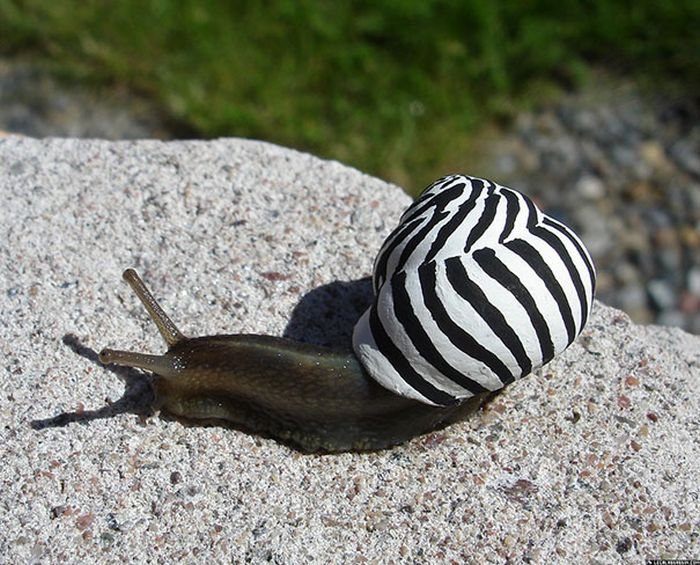 Snails With Pimped Out Shells (18 pics)