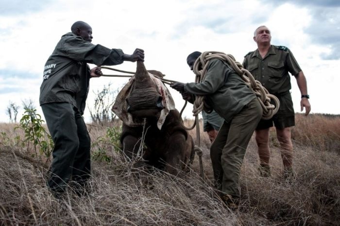 South African Rhino Gets Rescued (15 pics)