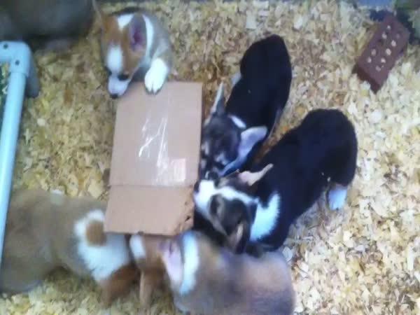 Corgi Puppies vs Cardboard Box