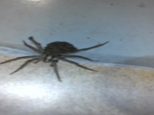 Giant Wolf Spider