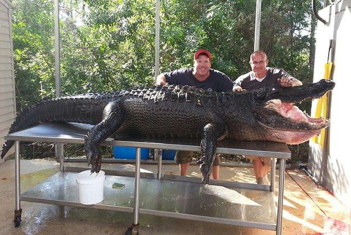 Crocodile Hunters Went Alligator Fishing (5 pics)