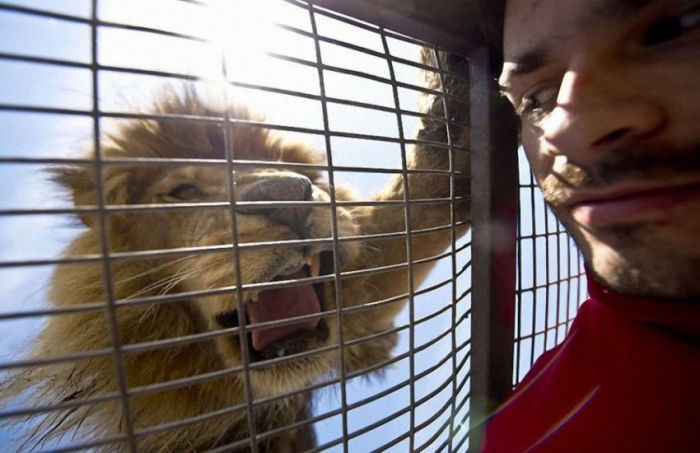 How To Get Up Close And Personal With Lions (14 pics)