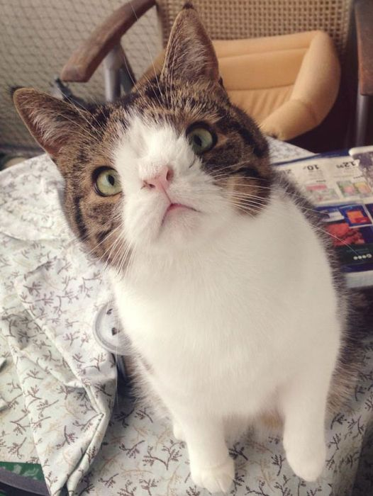 Monty The Cat's Face Is Unusual But Lovable (26 pics)