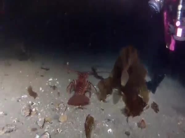 Lobster Diving Fail