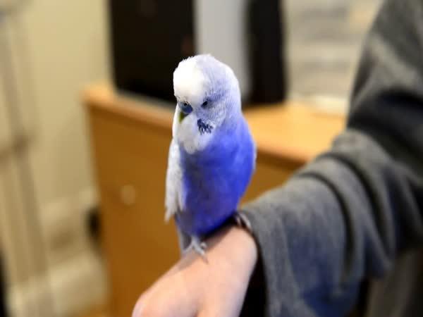 Parakeet Imitates R2 D2