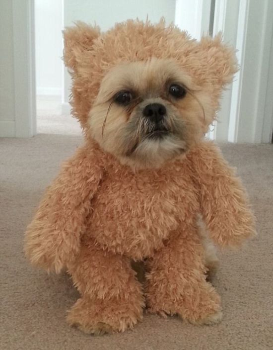 Is This A Dog Or A Teddy Bear (6 pics)