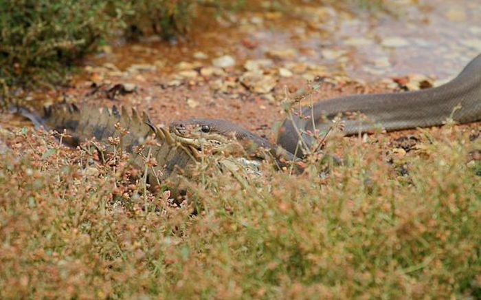 Giant Snake Fights A Crocodile Then Eats It (19 pics)