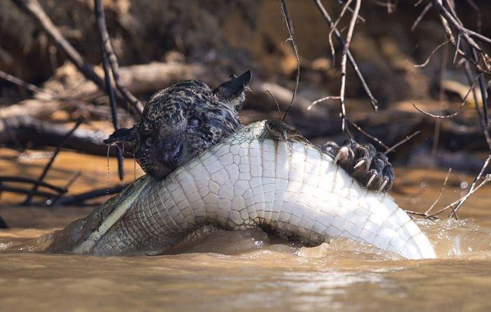 Jaguar Takes On A Crocodile In Epic Battle (4 pics)