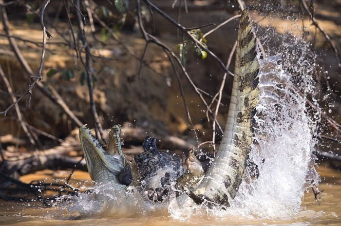 Jaguar Takes On A Crocodile In Epic Battle (4 pics)