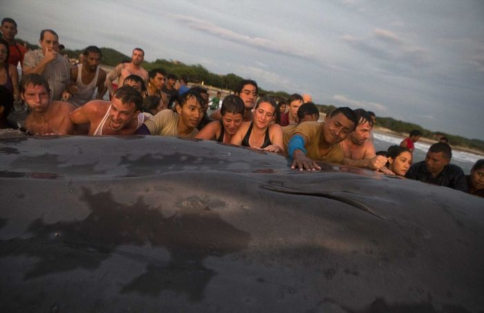 50 People Try To Save A Beached Whale (12 pics)