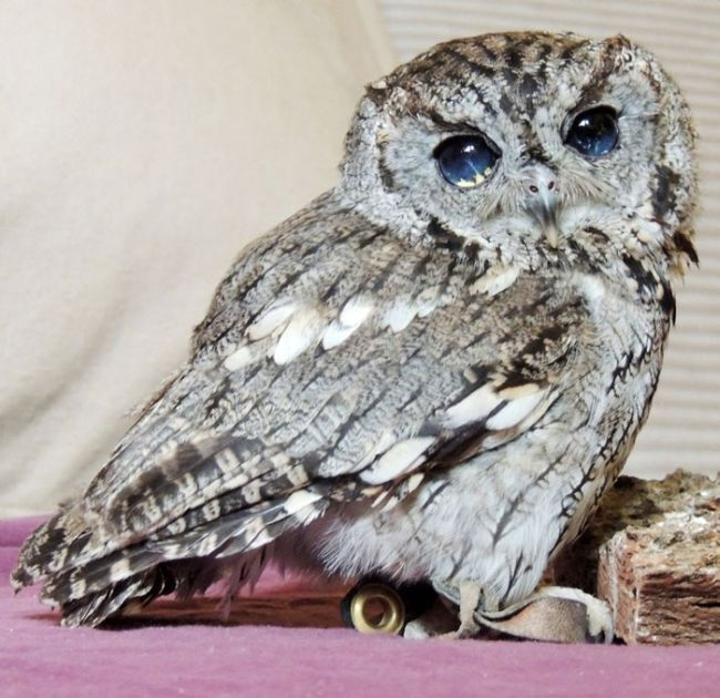 This Owl Has Stars In His Eyes (7 pics)