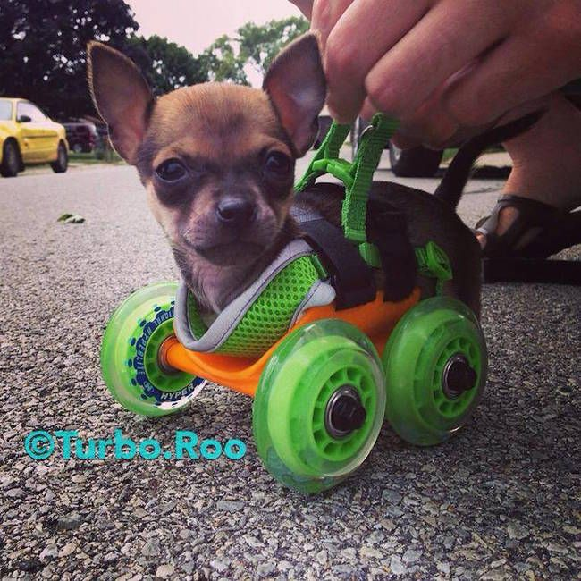 Two-Legged Chihuahua Finds A New Way To Get Around (19 pics)