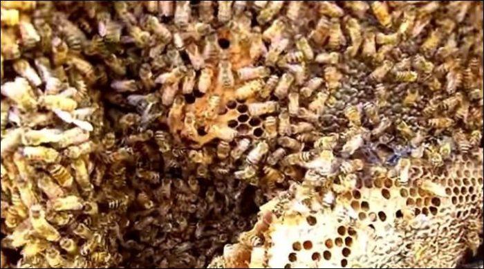 Huge Bees Nest Inside Of A Car (4 pics)