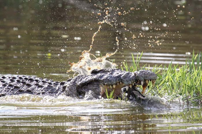 Escape From a Crocodile (6 pics)