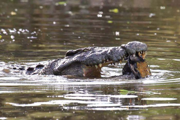 Escape From a Crocodile (6 pics)