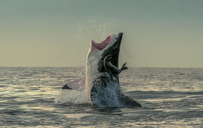 Seal Almost Becomes Dinner For A Shark (3 pics)