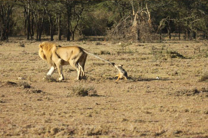 This Jackal Messed With The Wrong Animal (5 pics)