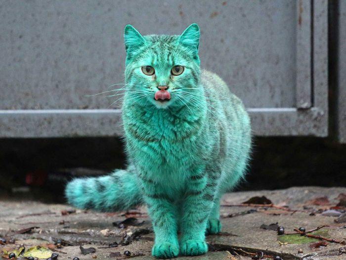 Bulgaria Has A Green Stray Cat Wandering The Streets (9 pics)