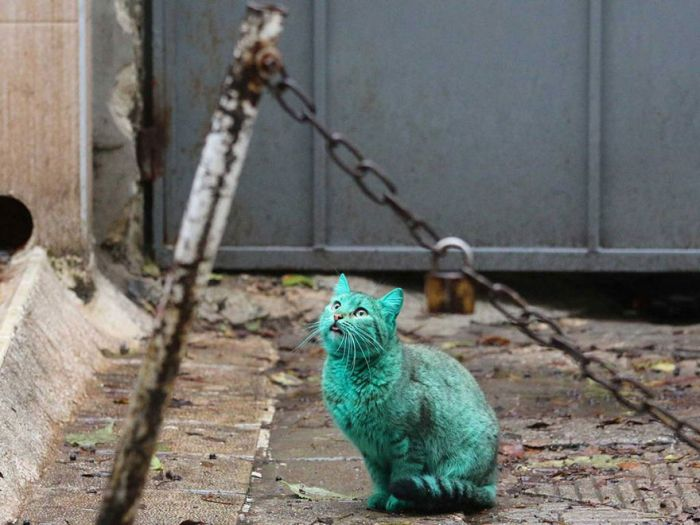 Bulgaria Has A Green Stray Cat Wandering The Streets (9 pics)