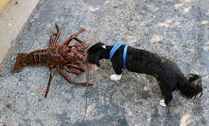This Man Found A Giant Lobster Off The Coast Of California (6 pics)