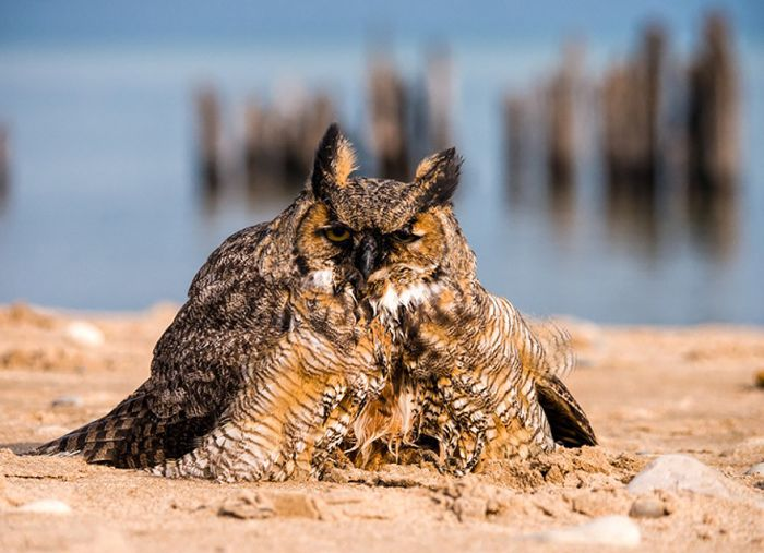 Did You Know That Owls Can Swim Too? (7 pics)