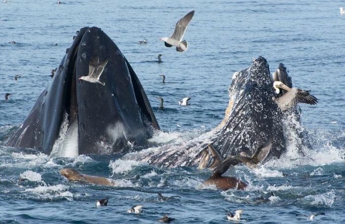 Whale Eats Pelican For Breakfast (4 pics)