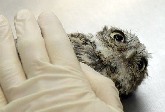 This Is What It Looks Like When An Owl Does Acupuncture (8 pics)
