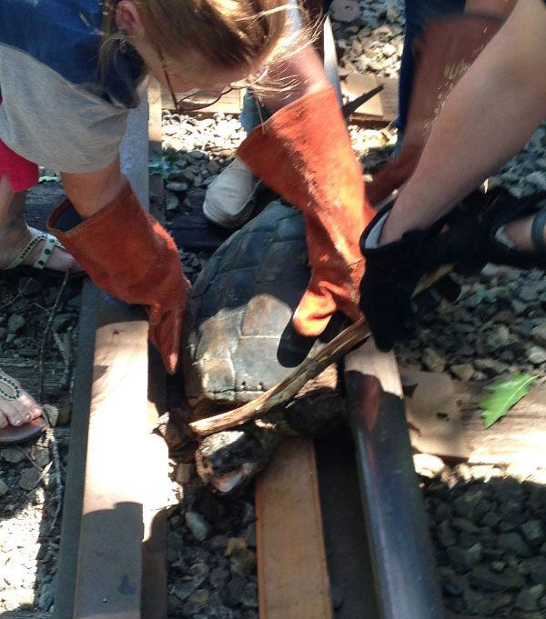 Turtle Gets Rescued From Railroad Tracks (6 pics)